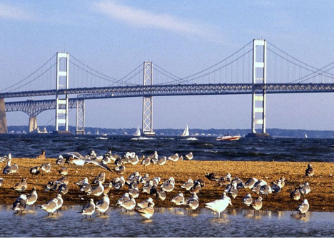 Kent Island with seagulls at the Chesapeake Bay Bridge, Maryland
