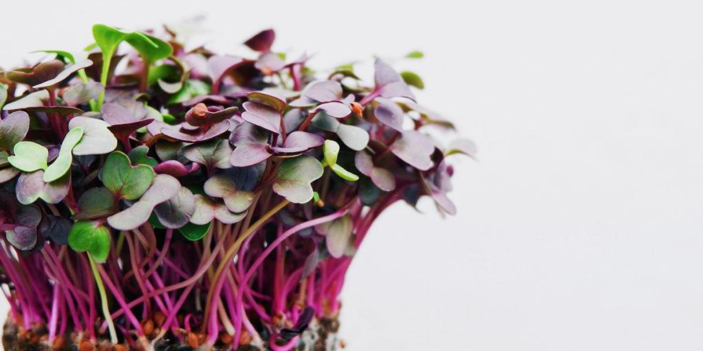Radish microgreens. Photo ©Grocycle