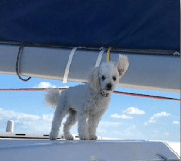 First mate Sailor, a 10-pound Bichon Poodle who is hypoallergenic and loves everyone.