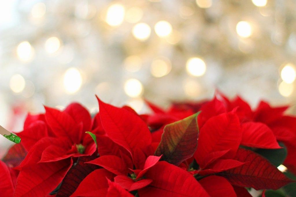 Stelle di Natale per decorare la casa per Natale