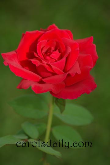 Mr. Lincoln Rose