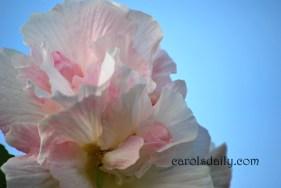 Confederate Rose