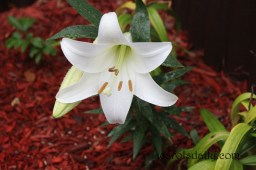 Day Lily Close