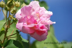 confederate-rose-pink