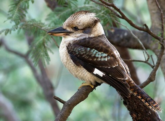Laughing Kookaburra perched on a Silver Wattle, Waterworks Reserve, Hobart, Tasmania, Australia. Photo by JJ Harrison.