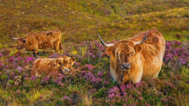 Highland cattle in a field of heather on the Isle of Skye, Scotland. Photo by Frank Krahmer.