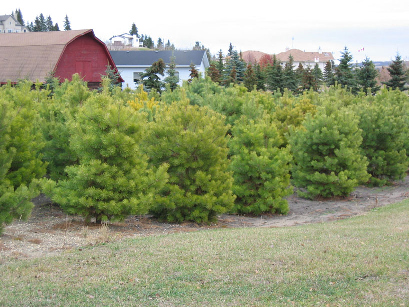 Poplar Ridge Tree Farm in Alberta, Canada