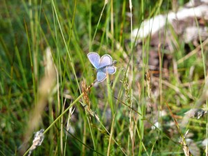 common blue in norwegian meadows