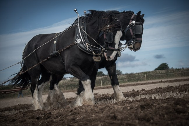 shires-ploughing-a-bungeroth