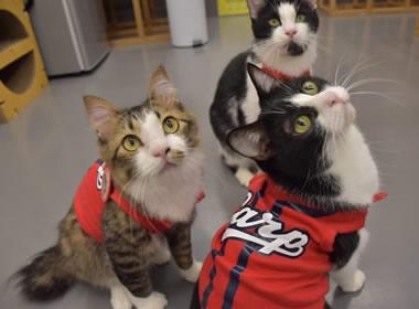 カープ猫も33年ぶりの日本一に向けて応援するニャ(保護猫カフェ)