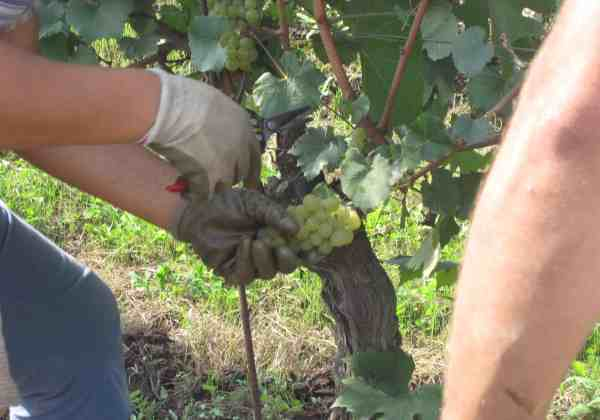 Mascato harvest at Pelissero Pasquale