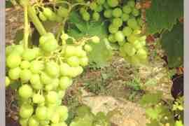 On the Piemonte Wine Trail: Barbera in July