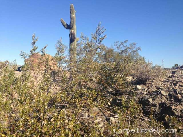 The saguaro cactus is only found in the Sonoran Desert in Phoenix