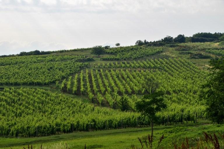 Vineyard near Mad