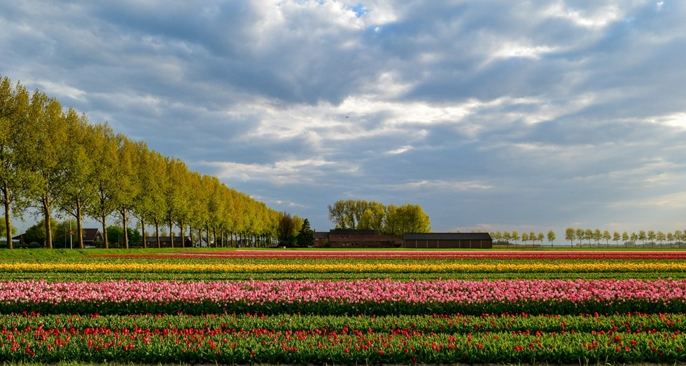 Netherlands Tulip Fields