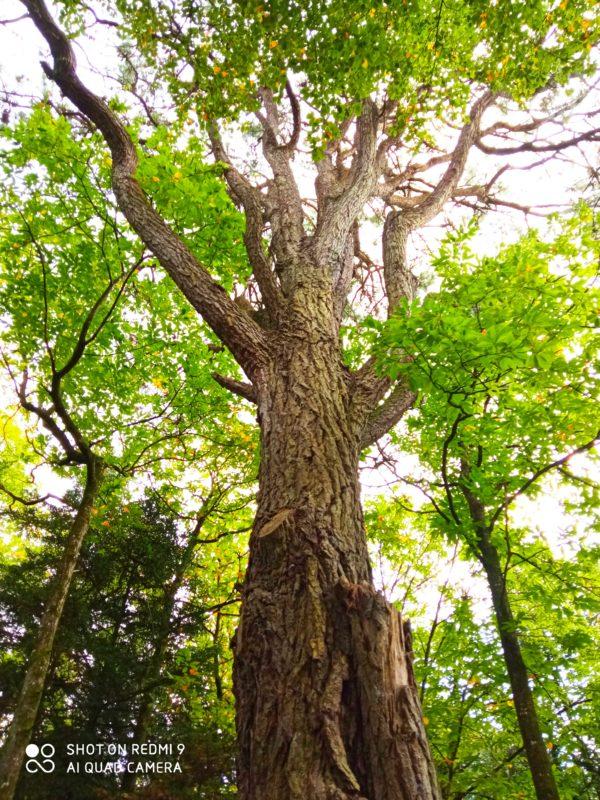 chêne forêt arbre bois vert tronc feuille branche