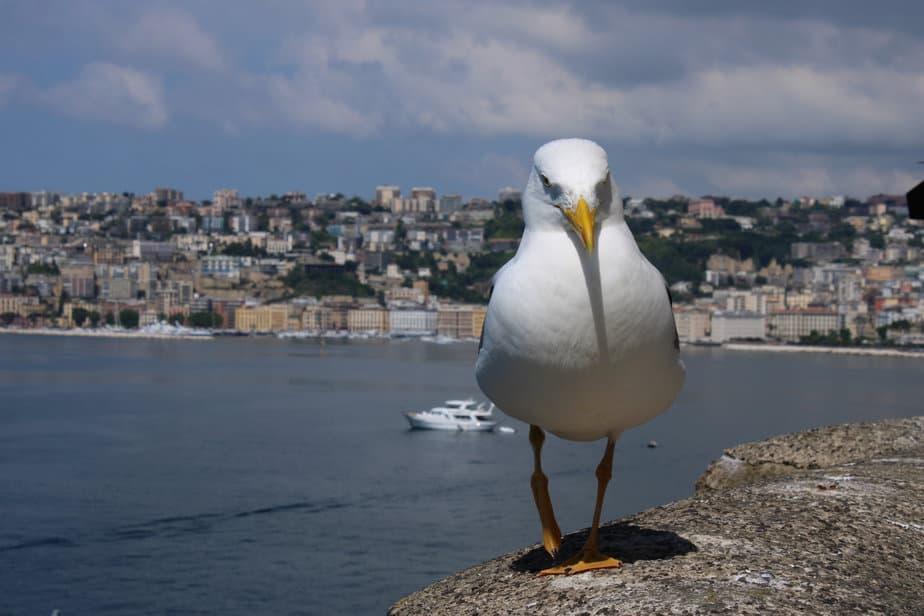 Sacré goéland ! – Naples, Castel Dell-Ovo