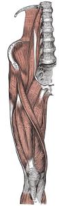 Musculatura de la pierna