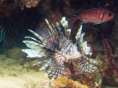 Lionfish are predators causing destruction among other fish populations.