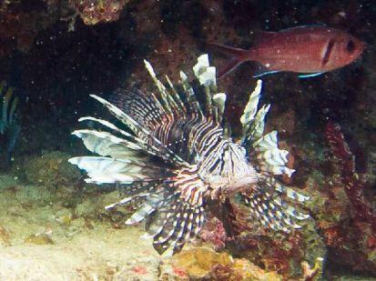 Lionfish are predators causing destruction among other fish populations.