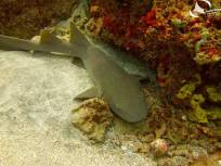 Small sharks are very common in the reefs around Carriacou.