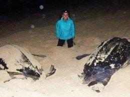 Turtles laying their eggs on Carriacou beaches.