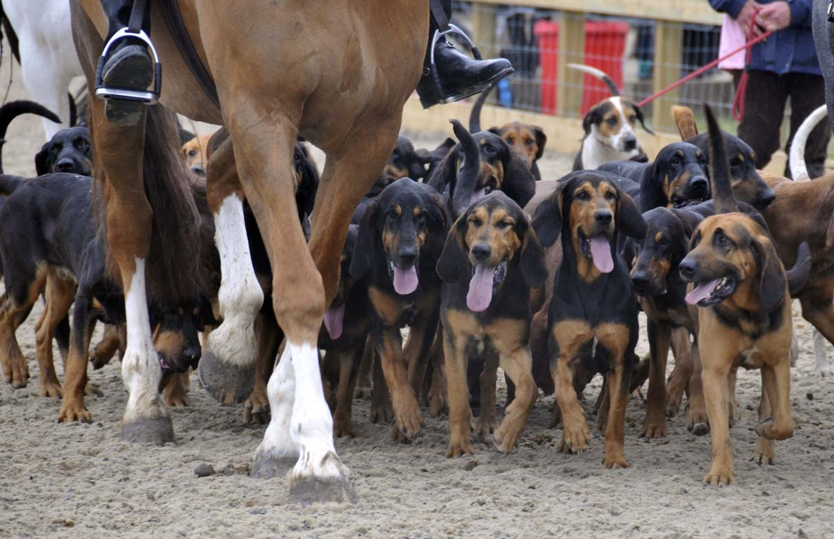 one of the several packs in the annual meet of the hounds