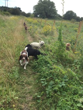 dog walking huntingdonshire
