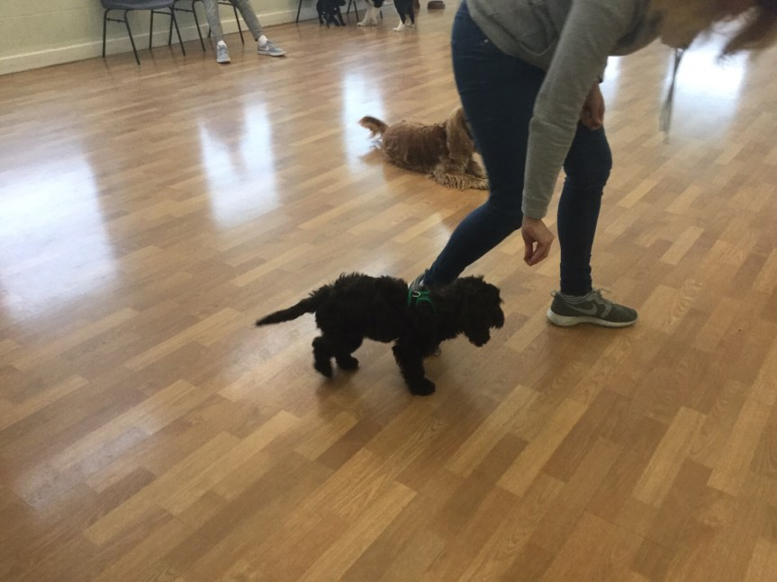 Puppy training Huntingdon