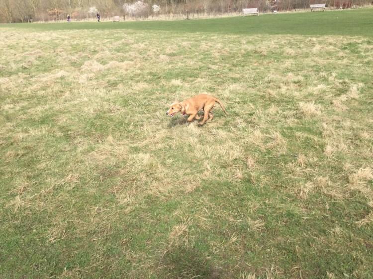 Dog socialisation walks Huntingdon