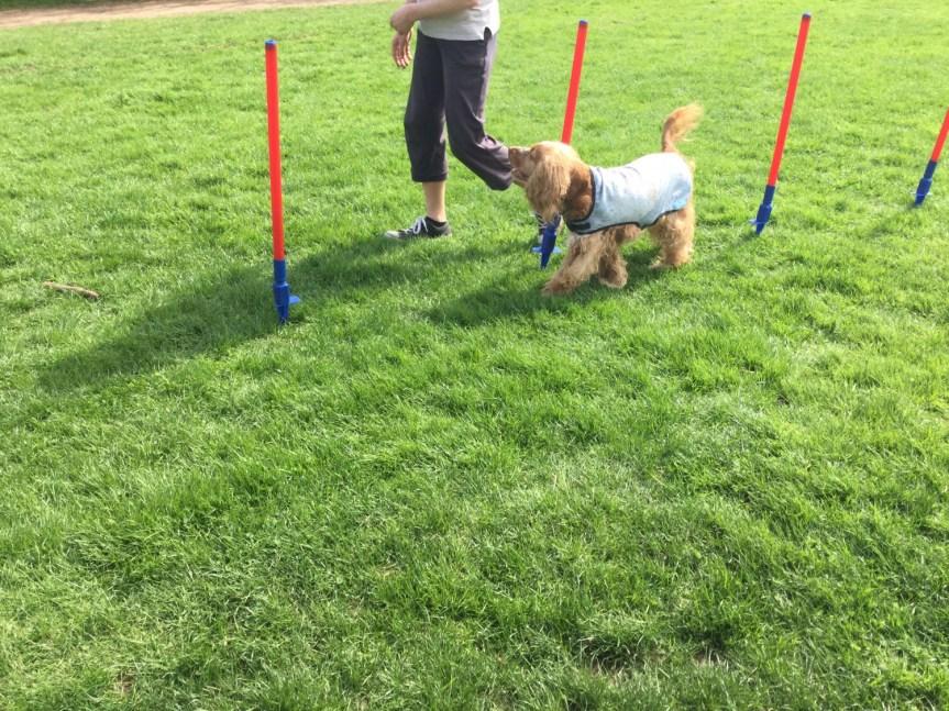 Rolling dog classes Cambridgeshire