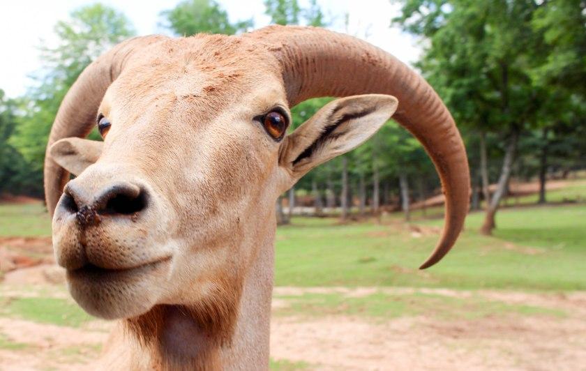 goat (1 of 1)