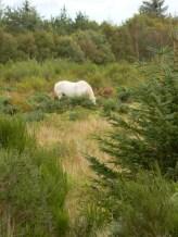 horse grazing, Culloden Battlefield