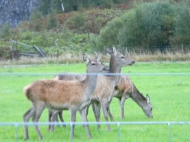 red deer, Perthshire countryside