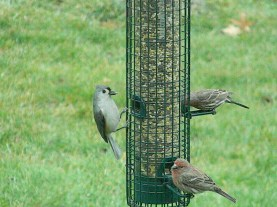 tufted titmouse joins the establishment