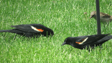 IMG_0720_male-blackbird-pair-grass-edits