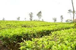 Perkebunan teh di kaki gunung