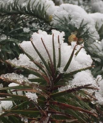 snow-on-chinese-fir