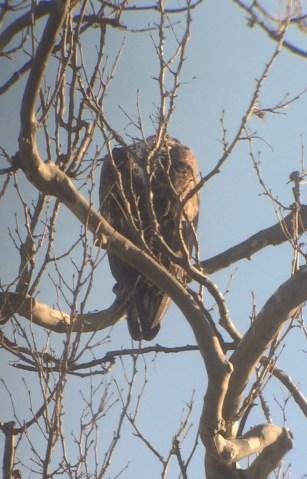 bird-eagle-juv-2