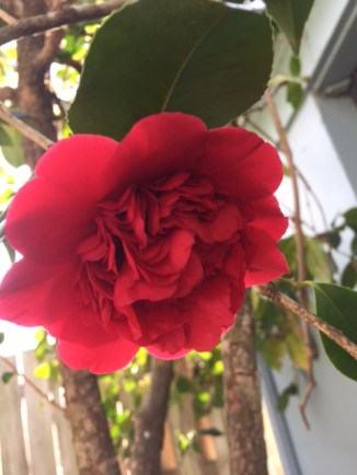 flowers-spring-camellia