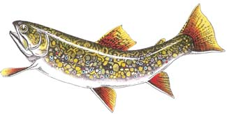 brook trout by David M. Carroll