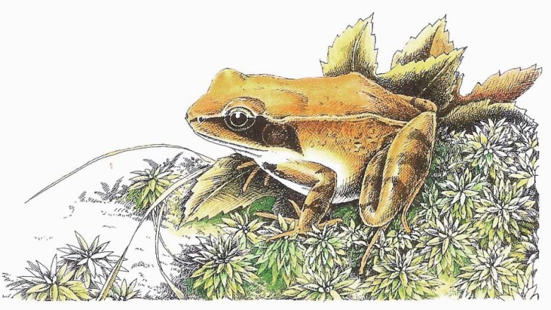 Wood Frog Drawing