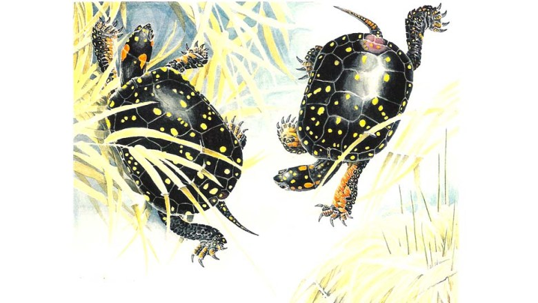 The Courtship of Spotted Turtles