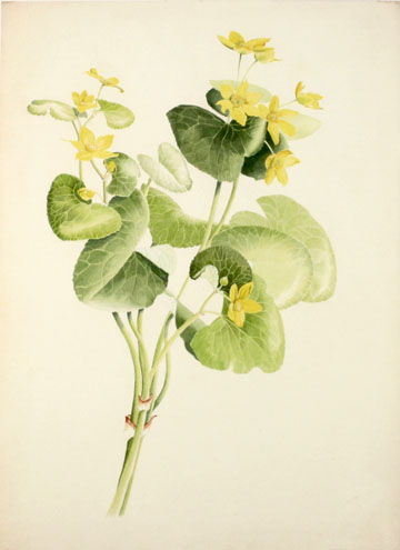 Marsh Marigold Botanical Watercolor by David M. Carroll
