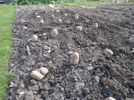 Desiree potatoes 2
