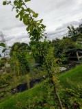 Pruning a plum tree 2