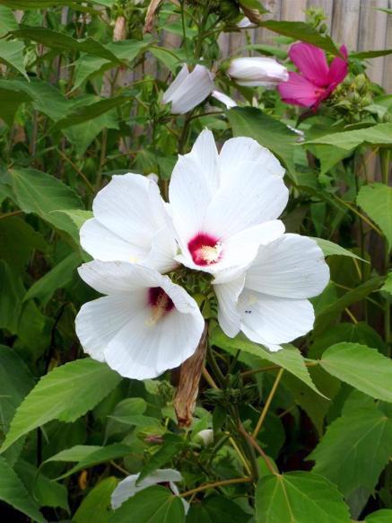Broolkly Botanical Gardens - Hibiscus