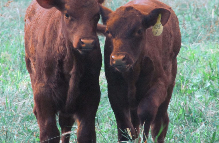 Extension Notes: Three ways to improve your calf prices