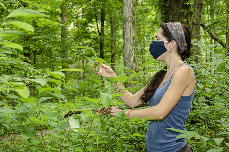 UK Forestry and Natural Resources studies newest invader in Kentucky forests