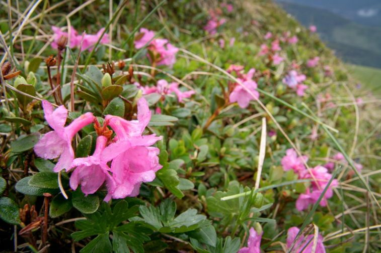 Tufe Rhododendron sau smirdar / Creasta Oslei, Oslea, Muntii Valcan, Gorj, Hunedoara